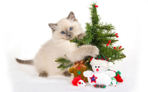 Cats love Christmas wallpaper